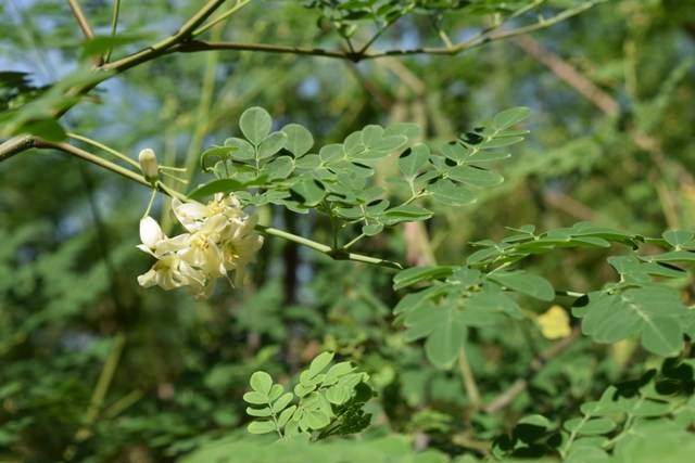 "Known as ""The Miracle Tree"", Moringa oleifera is a tropical botanical loaded w all the natural nutrition your body needs!"